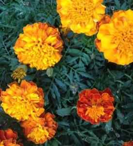 Marigolds in September